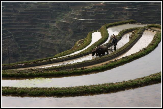 Travail en rizières
