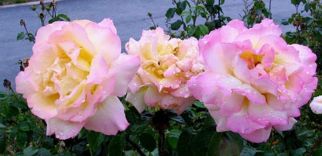 Troies épanouies sous le rosée