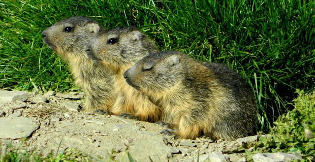 Trois marmottons
