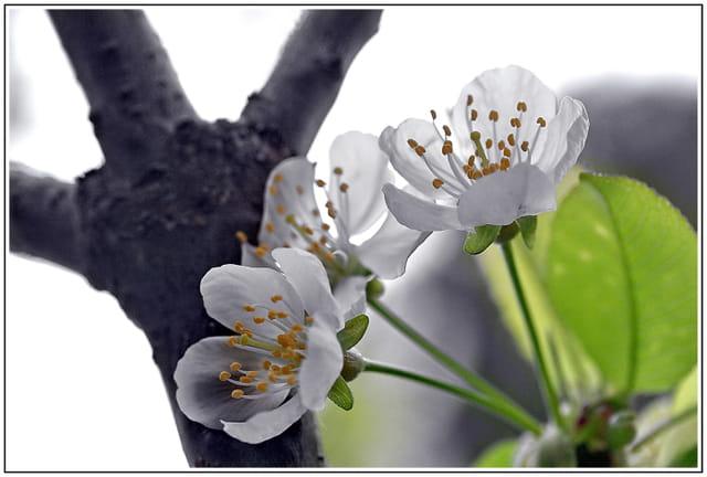 Trois petites fleurs de cerisier
