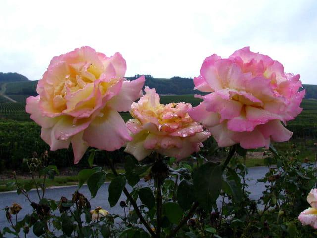 Trois roses de vigne en champagne
