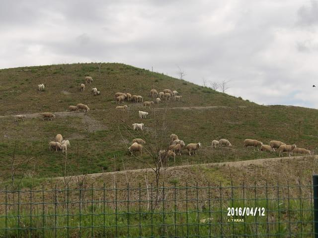 Troupeau de mouton sur le terril