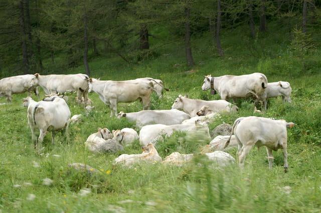 Troupeau de vaches blanches