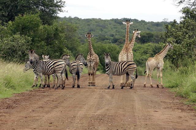 Troupeau girafes et zébres-02