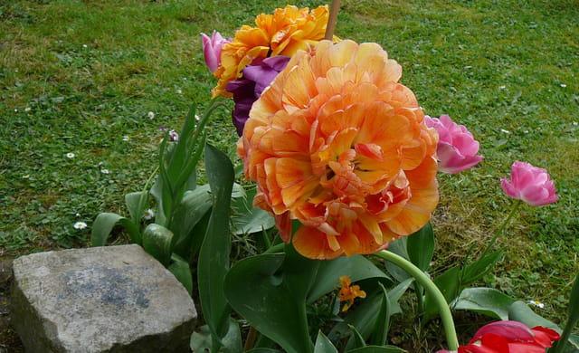 Tulipe fleur de pivoine dans le jardin d 39 une amie par for Fleurs dans le jardin