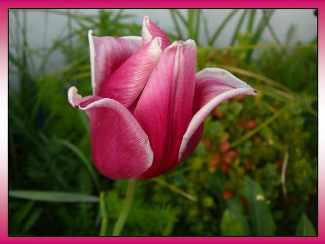 Tulipe bicolore
