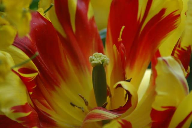 Tulipe en feu !