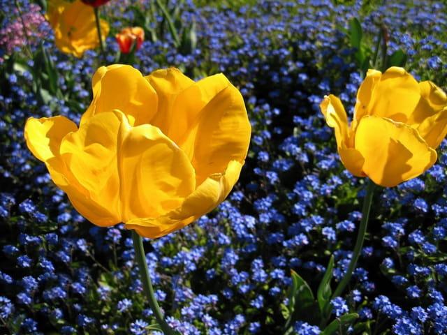 Tulipe jaune  canari