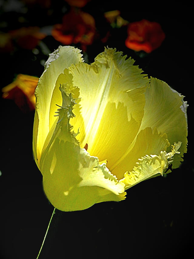 Tulipe jaune et blanche par huguette roman sur l 39 internaute for Chambre jaune et blanche