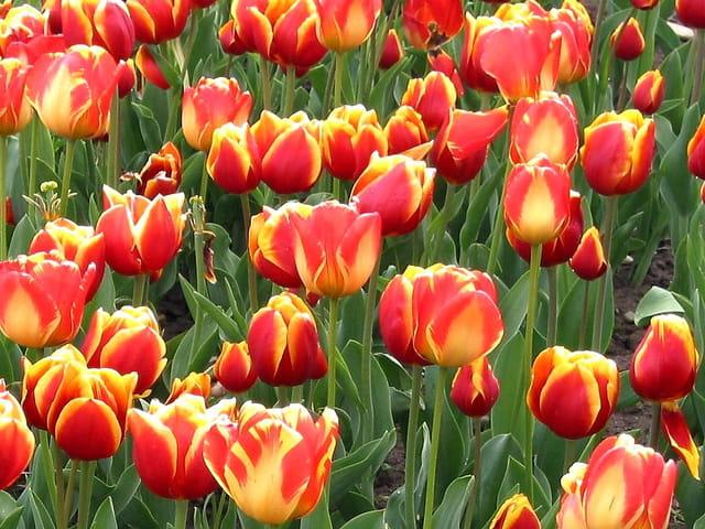 Tulipe orange et jaune