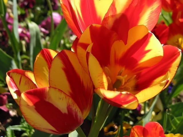 Tulipe orange et rouge