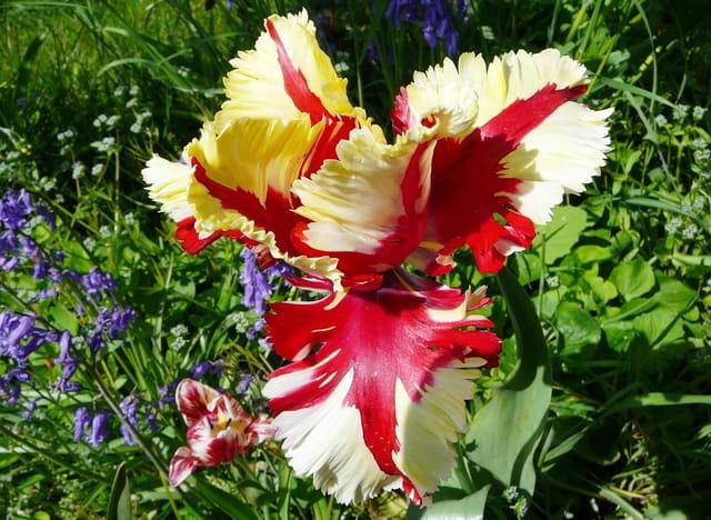 Tulipe perroquet Jaune et Rouge