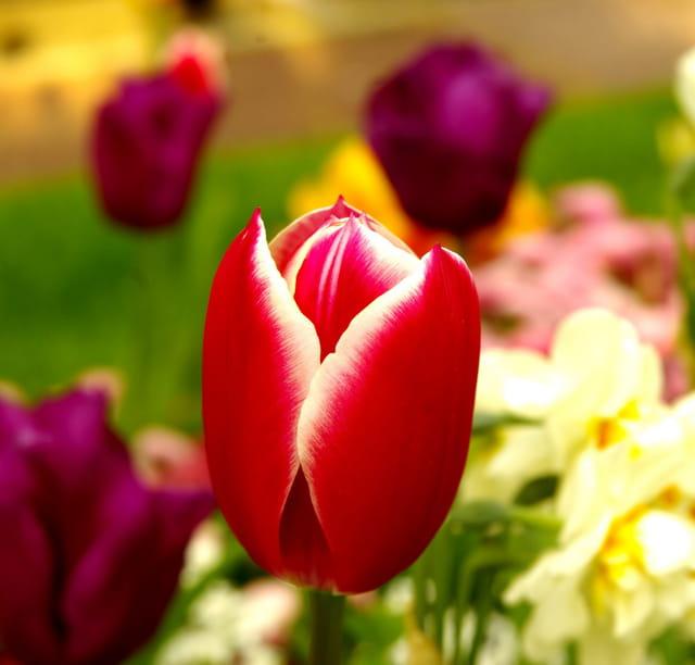 Tulipe rouge à bords blancs