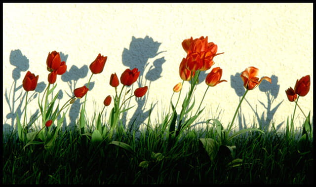Tulipes au crepuscule