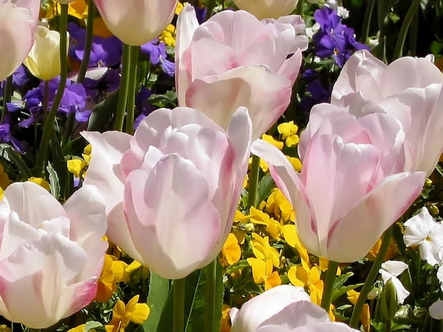 Tulipes blanches rosées