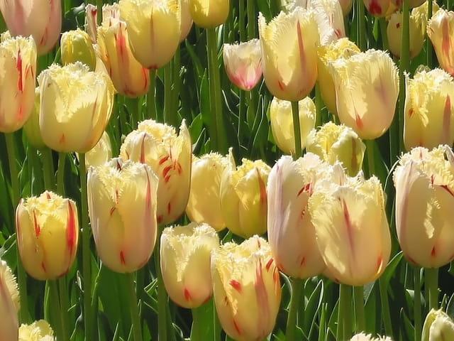 Tulipes effrangées