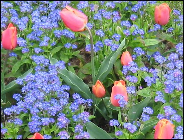 Tulipes et fleurs bleues
