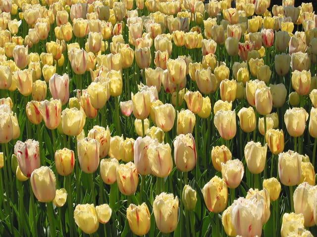 Tulipes jaunes (jardins de la crois
