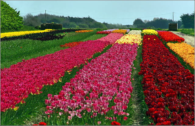 Tulipes Patchwork