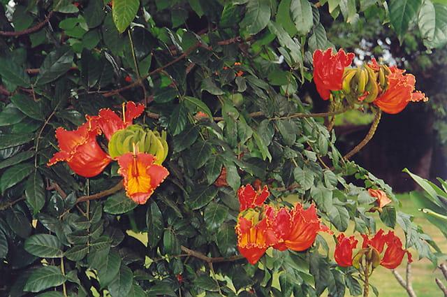 Tulipier du Gabon