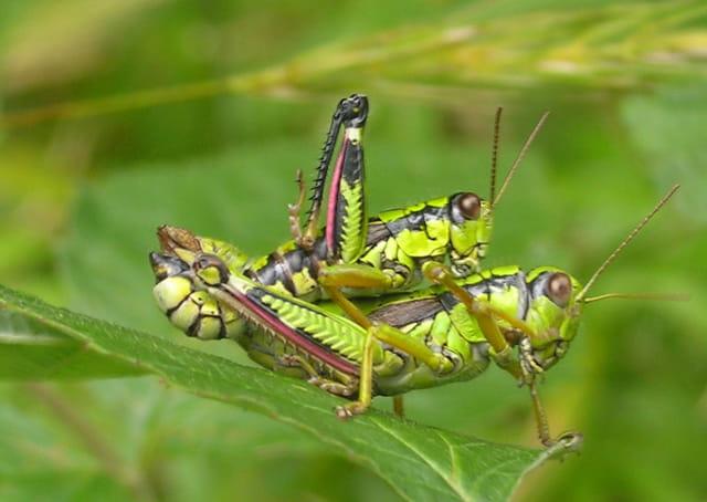 Un amour de sauterelle