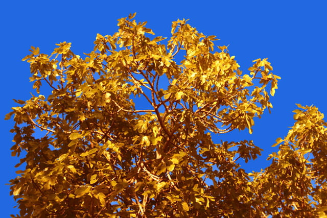 Un arbre en or.
