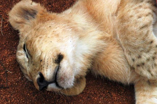 Un beau gros bébé lion