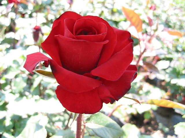 Un beau rouge