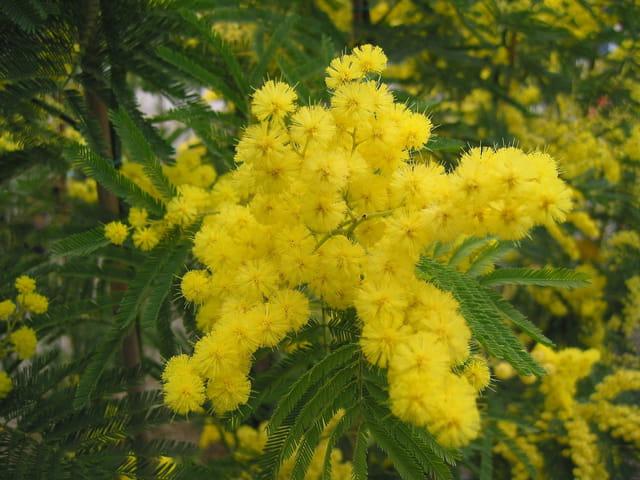 Un brin de mimosa