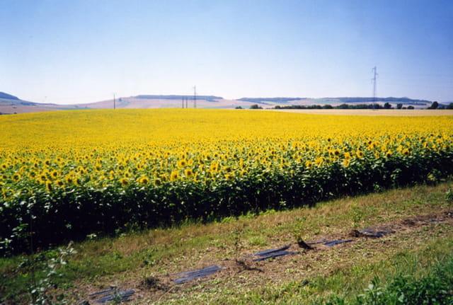 Un champ de tournesol