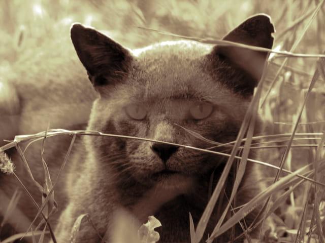 Un chat couché dans l'herbe