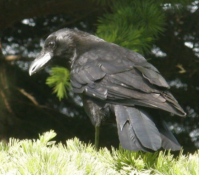 Un corbeau sur un arbre perché