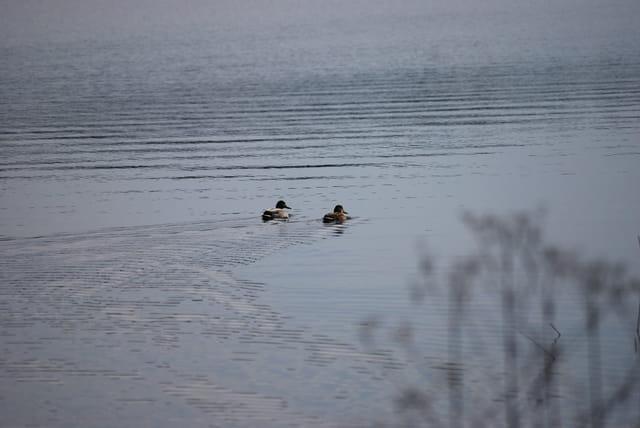 un couple de canard sauvage sur le lac