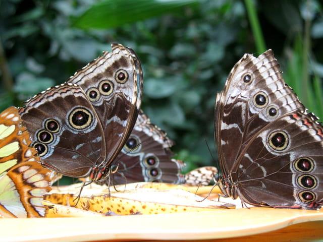 Un couple de papillons