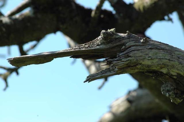 Un crocodile en bois