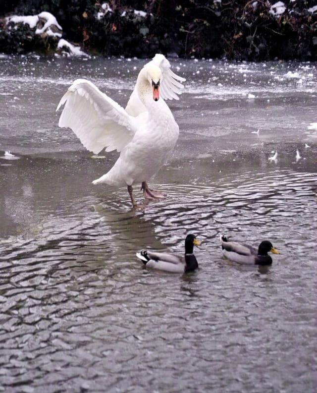 Un cygne accompagné de deux canards