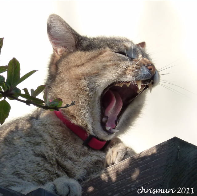 Un des derniers tigre des monts d'arrée!!!