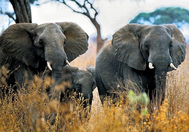 Un éléphanteau bien protégé.