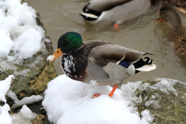 Un froid de canard !