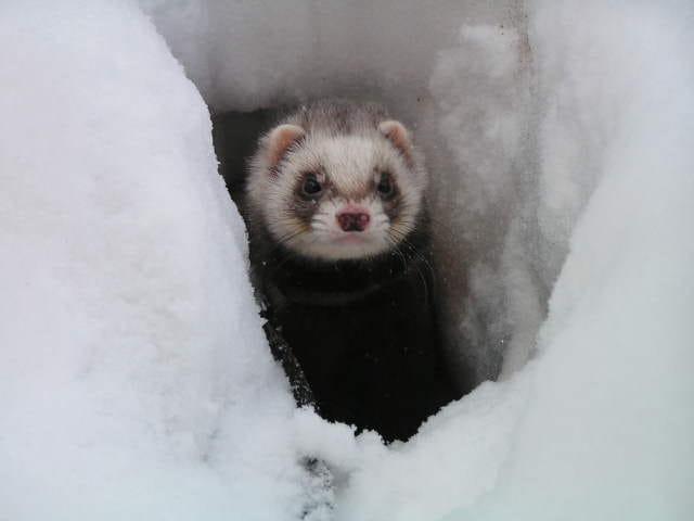 Un furet à la neige