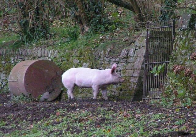 Un joli cochon