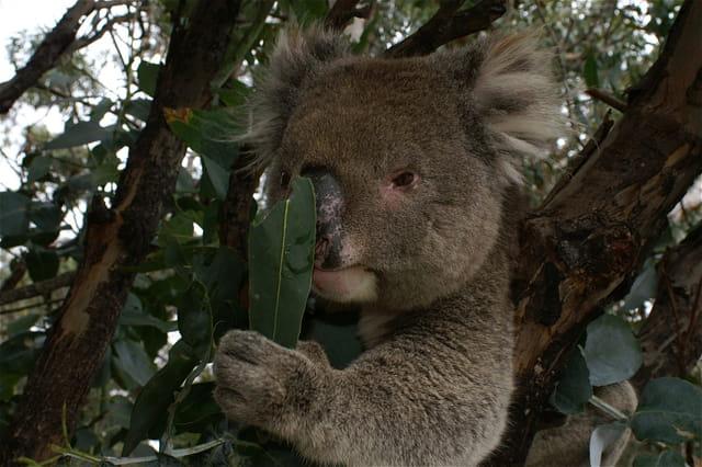 Un koala qui s'interroge.