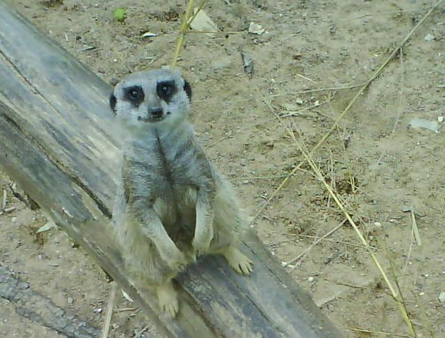 Un suricate bien curieux