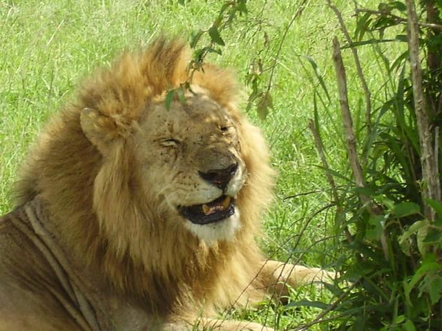 Un lion mort de rire