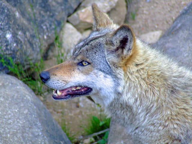 Un loup.