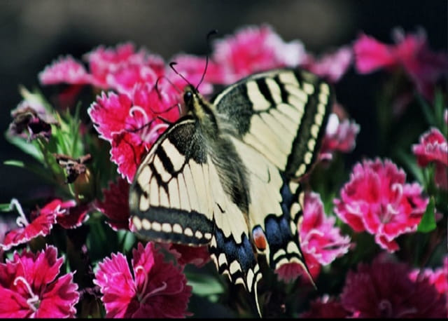 Un machaon
