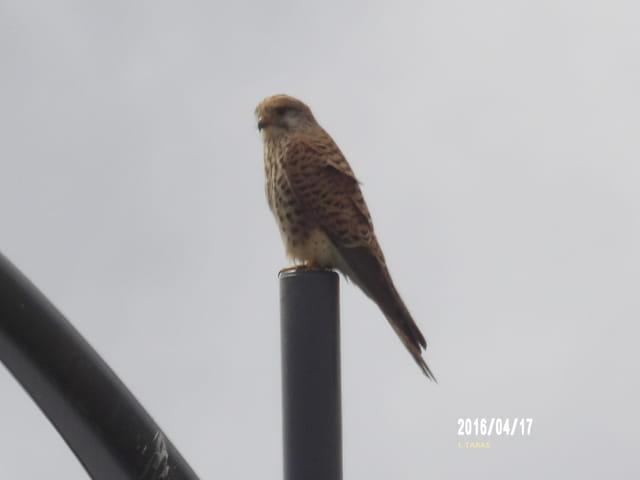 Un magnifique faucon
