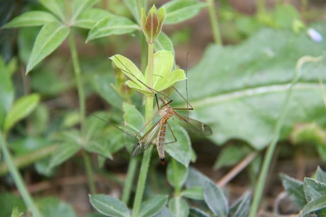 un moustique s'est posé