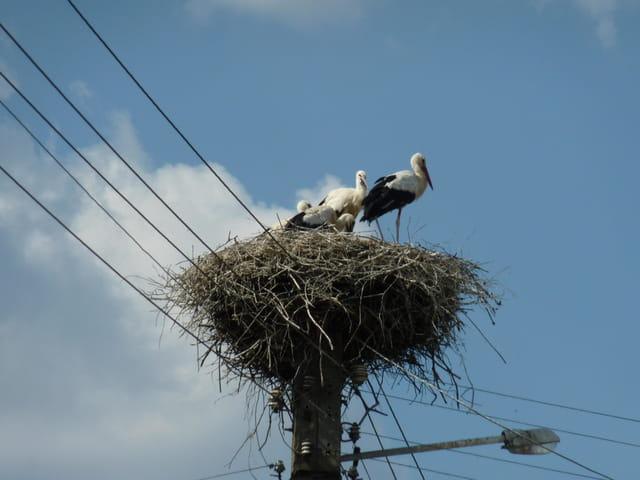 Un nid de cigognes