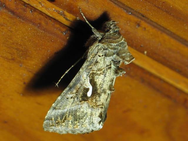 Un papillon de nuit au plafond